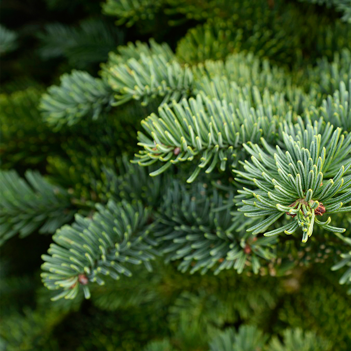 Noble Fir 5kg Bundles